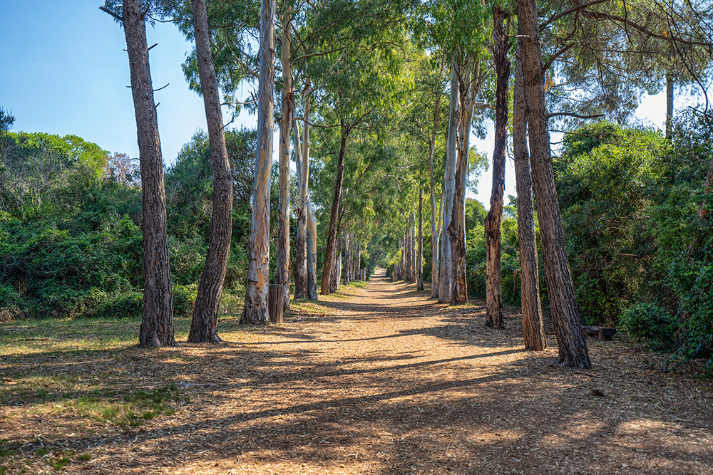 Pine and eucalyptus trail on Sainte-Marguerite Island